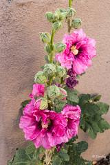 Sante Fe Hollyhocks (Santa Fe, New Mexico) (Jersey Camera) Tags: blooms santafe hollyhocks flowers newmexico
