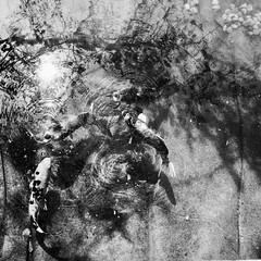 La chorale aquatique en plein délire... (woltarise) Tags: japonais jardin montréal botanique étangs carpes chorale reflets arbres rosemont quarier ricoh gr littledoglaughednoiret