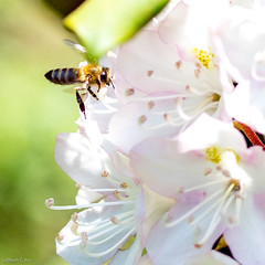 Honey Bee coming into a rhododendron (scroy65) Tags: apomacroelmarittl60mmasph bees flower leica leicatl2 lexington rhododendron