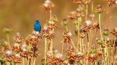 Indigo Bunting (Bob Gunderson) Tags: coth birds brionesregionalpark buntings california contracostacounty eastbay indigobunting northerncalifornia passerinacyanea coth5
