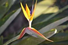 Bird of Paradise Flower ( Paradisaeidae) (Urban and Nature OZ) Tags: birdofparadise fower flowers strelitzia paradisaeidae birdofparadiseflower plants
