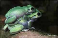 _F2D9451Cvm (jm_villarroya) Tags: jmvillarroya australianfrogs