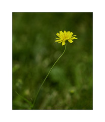 Seule (Gérard Boisnard) Tags: nature fleurs flowers flore plante macro boisnard