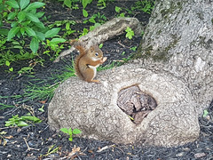 Pleased to meet you (Coastal Elite) Tags: chipmunk halifax novascotia eating eat feed feeding animal rodent chipmunks tamias tamia suisse rodents tree stump nature urban city fauna