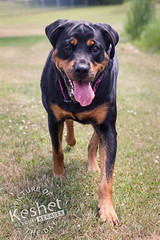 This 2 yr old Rotti is happy first time visitor. Welcome! (Keshet Kennels & Rescue) Tags: rescue kennel kennels adoption dog ottawa ontario canada keshet large breed dogs animal animals pet pets field tree forest nature photography rottweiler