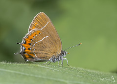 Black Hairstreak, Satyrium pruni (Nature Exposed) Tags: blackhairstreak hairstreak hairstreaks nature natureexposed naturephotography leighprevost leighprevostphotography wild wildlife wildlifephotography butterfly butterflies butterflyphotography macro macrophotography butterflyconservation insects insect insectmacro lepidoptera sussex sussexwildlife eastsussex