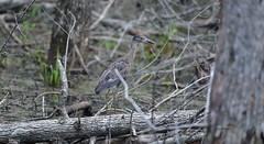 Juvenile Yellow Crowned Night Heron_1123c (Porch Dog) Tags: 2018 garywhittington kentucky nikond750 nikkor200500mm wildlife birds nature slough