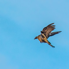 pigeonvol01 (YassChaf) Tags: pigeon dove colombe bird oiseau paris city ville urbanbird wildbird nature animaux animal faune