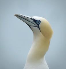 GANNET SOFTNESS By Angela Wilson (angelawilson2222) Tags: gannet seabird wild wildlife nature portrait bempton cliffs rspb nikon angela wilson angelawilson