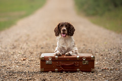28/52 Travel (Flemming Andersen) Tags: 52weeksfordogs animal cocker outdoor spaniel zigzag dog hund pet portrait suitcase travel