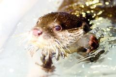 It's ice! Asian Small-clawed Otter (Aonyx cinerea) of Enoshima Aquarium, Fujisawa : コツメカワウソ(藤沢市・新江ノ島水族館) (Dakiny) Tags: 2018 summer july japan kanagawa fijisawa shonan coast enoshima kataseenoshima aquarium enoshimaaquarium city street creature mammal predator otter asiansmallclawedotter aonyxcinerea macro bokeh nikon d750 tamron 35mm f18 tamronsp35mmf18divcusd tamronsp35mmf18divcusdmodelf012 sp35mmf18divcusd sp35mmf18divcusdmodelf012 modelf012
