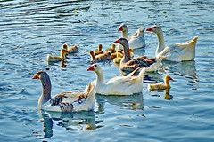 large family (meren34) Tags: goose duck duckchick family water wild life birds animal stream