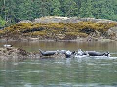 DSC02463 (jrucker94) Tags: ketchikan alaska coastalwildlifesearch excursion cruise port nature seal seals ocean inlet