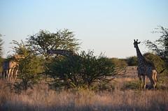 DSC_3503 (Andrew Nakamura) Tags: namibia otjiwarongo projectdragonfly earthexpeditions waterbergconservancy cheetahconservationfund animal wildlife giraffe giraffidae mammal ungulate gamecount