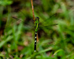 Standing Out From the Green (that_damn_duck) Tags: nikon insect dragonfly nature wings wood