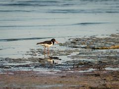 _DSC3520.jpg (fotolasse) Tags: sonyölandormvråkfåglar öland natur kalmar ottenby långejan fyr canon sony bird birds fåglar vatten hav water sea sweden sverige
