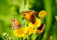 3 Gatekeeper's (seenbynick) Tags: gatekeeper butterfly insects wildlife flowers nature outdoors macro sunshine grass ainsdalebeach plant