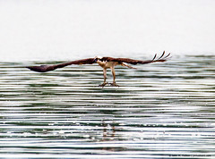 2018.06.23.0800 Grabbing Gear Deployed, View I (Brunswick Forge) Tags: 2018 virginia summer air sky river water grouped nikond500 tamron150600mm bird birds outdor outdoors animals animalportraits wildlife nature osprey ospreys raptors raptor animal favorited