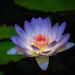 _TL83458_L_ (5816OL) Tags: waterlilies como2018 flowers