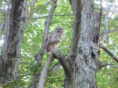 Owl Holding A Shrew In The Evening Light (amyboemig) Tags: barred owl toward watching prey predator shrew mount holyoke state park
