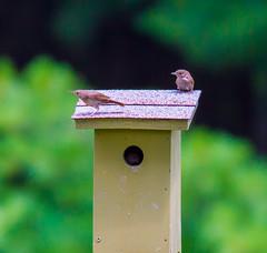 Visiting Wrens (John Kocijanski) Tags: wren birds animals birdhouse wildlife bokeh nature canon7d canon400mmf56