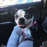 This little wigglebutt has pigtails. Meet my new temporary sidekick: Joline. thumbnail