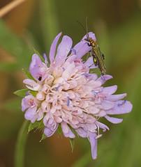 2018_07_0502 (petermit2) Tags: swollenthighedbeetle falseoilbeetle thickleggedflowerbeetle beetle oedemeranobilis oedemera oedemeridae fieldscabious