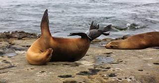 1942 Sea lion giving birth, La Jolla Cove, La Jolla, CA