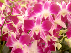 Orchid Flower photo (www.icon0.com) Tags: flower orchid blossom nature pink floral beautiful flora plant purple beauty bloom petal tropical exotic fresh botany branch bouquet violet natural garden phalaenopsis leaf wedding blooming petals valentine love aroma growth foliage romance pastel herbal orchidea