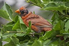 Cardinal Walter White? Or, when songbirds break bad? IMG_1139 (ronzigler) Tags: northern cardinal songbird wildlife nature birdwatcher avian bird