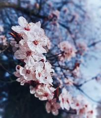 Pink cherry blossom against the blue sky (Antony Zacharias) Tags: cherry pink blue spring blossom pinkblossom season tranquil calm vsco macro nature naturemacro flowers flowermacro newbeginnings cherryblossom