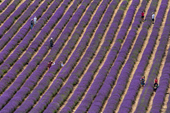 LORDINGTON LAVENDER (mark_rutley) Tags: lavender lordingtonlavender flowers nature purple summer westsussex bbcsouthtoday weather bbcweather hollygreen weathergirl bbc tv