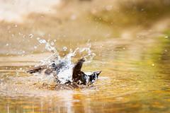 bathing sparrow (Cloudtail the Snow Leopard) Tags: spatz sperling hasusperling vogel tier animal bird passer domesticus house sparrow bathing baden wasser water zoo stadtgarten karlsruhe