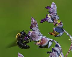 Bee_SAF2213 (sara97) Tags: bee copyright©2018saraannefinke insect missouri nature photobysaraannefinke pollinator saintlouis towergrovepark towergrovepark2018 urbanpark