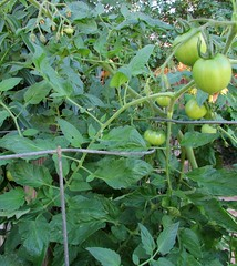Tomatoes (SJB Dolls) Tags: tomatoes garden