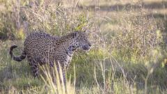Jaguar Gaia [Explored, thanks] (matttrevillion) Tags: pantanal brazil jaguar