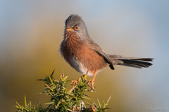 Dartford Warbler 2 (markwright12002) Tags: 2018 april arne dartfordwarbler dorset rspb