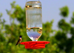 Black-chinned Hummingbird (austexican718) Tags: texas native fauna centraltexas hillcountry hummingbird nature wildlife bird backyard birdfeeder canon eos70d ef70300mm456isusm telephoto iridesence plumage reflection refraction