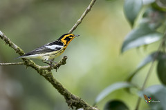 Blackburnian Warbler (fernaabs) Tags: blackburnian warbler setophaga fusca reinita gorginaranja passeriformes parulidae aves avesdecostarica fernaabs burgalin