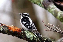 Downy Woodpecker, Female (Anne Ahearne) Tags: wild bird animal nature wildlife tree lichen downy woodpecker