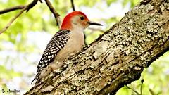 Red-bellied Woodpecker (Suzanham) Tags: woodpecker redbelliedwoodpecker tree bird branch nature wildlife mississippi picidae spring