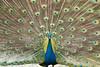 D50_9946.jpg (ManuelSilveira) Tags: fauna aves pavao