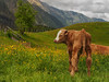 The calf enjoys the spring (Ostseeleuchte) Tags: alps spring frommyarchive frühling kalb calf mountains berge alpen nationalparkhohetauern österreich austria urlaubserinnerungen holidaymemories