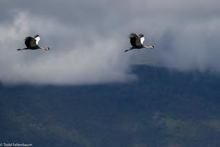 CA3I6248-Gray-crowned Crane