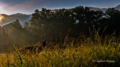 Morning Elk (augphoto) Tags: augphotoimagery cervuselaphus elk animal mammal nature outdoors wildlife cherokee northcarolina unitedstates