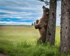 Scratching (Nedko Nedkov) Tags: alaska lakeclark brownbear cub mum wildlife