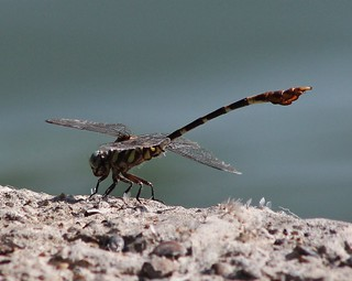 Phyllogomphoides albrighti, Five-striped Leaftail