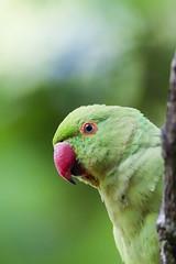 Parakeet in Hyde Park, London (marklewis35) Tags: parakeet parakeets bird birds wildlife ukwildlife london hydepark