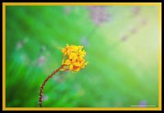 yellow (NadzNidzPhotography) Tags: nadznidzphotography flower yellowflower yellow nature naturephotography garden flowerscape