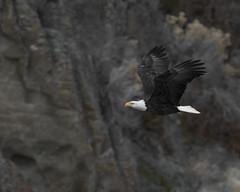 Flyby (opheliosnaps) Tags: wild nature outdoors bald eagle haliaeetus leucocephalus usa klamath falls oregon bif white brown mountain hillside rock